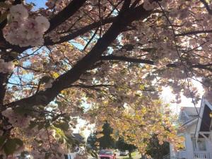DiscoBlog_CherryBlossoms