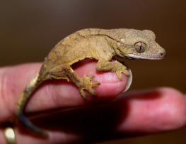 crown-gecko-1302347_1280